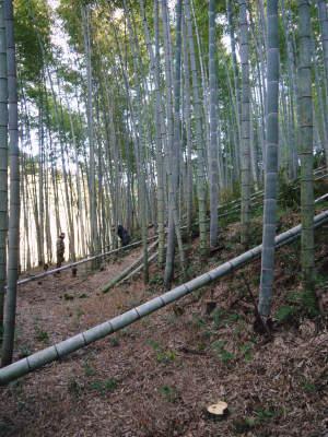 """幻の白い「長生たけのこ」 冬の伐採作業で""""たけのこ畑""""を作り上げます!「干したけのこ」大好評販売中!_a0254656_17130961.jpg"""
