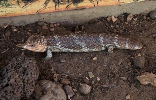 オーストラリアの爬虫類 「マツカサトカゲ」_d0019074_11465745.jpg