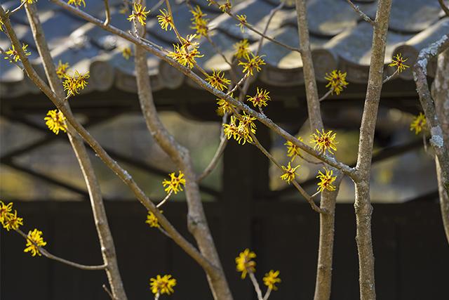 北鎌倉の梅_b0145398_23522604.jpg