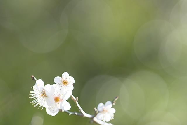 北鎌倉の梅_b0145398_23525127.jpg