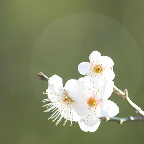 北鎌倉の梅_b0145398_23532878.jpg