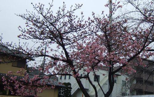 2月16日(日) 河津桜_d0048312_18261715.jpg