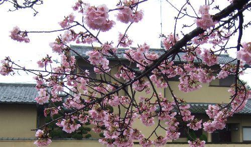 2月16日(日) 河津桜_d0048312_18263237.jpg