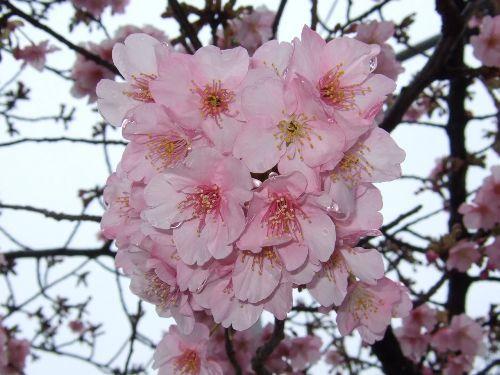 2月16日(日) 河津桜_d0048312_18264501.jpg