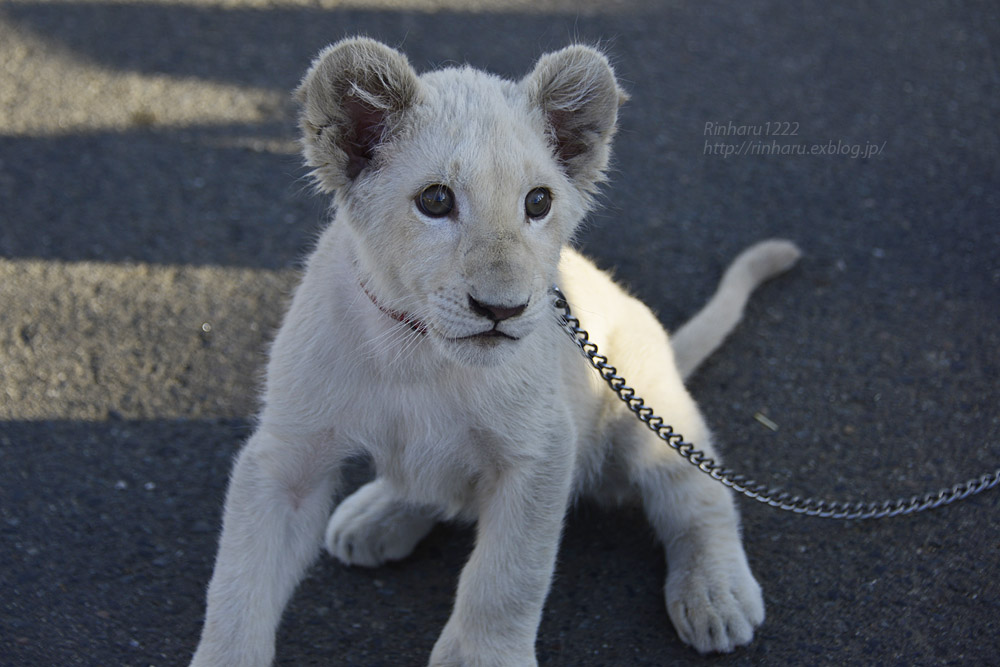 2018.11.18 東北サファリパーク☆ホワイトライオンのリズムちゃま【White lion baby】<その5(完)>_f0250322_12121312.jpg