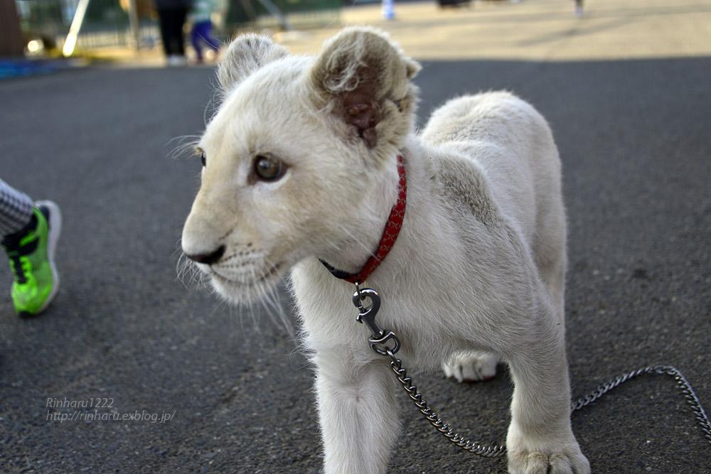 2018.11.18 東北サファリパーク☆ホワイトライオンのリズムちゃま【White lion baby】<その5(完)>_f0250322_12121982.jpg