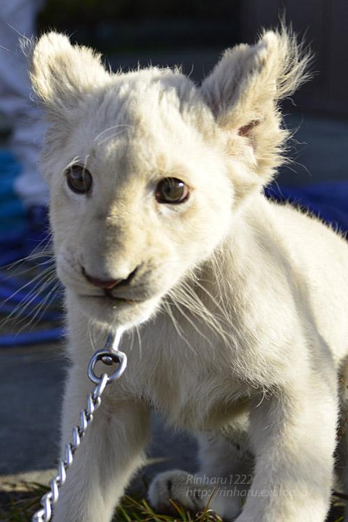 2018.11.18 東北サファリパーク☆ホワイトライオンのリズムちゃま【White lion baby】<その5(完)>_f0250322_12122563.jpg