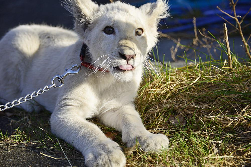 2018.11.18 東北サファリパーク☆ホワイトライオンのリズムちゃま【White lion baby】<その5(完)>_f0250322_12123437.jpg