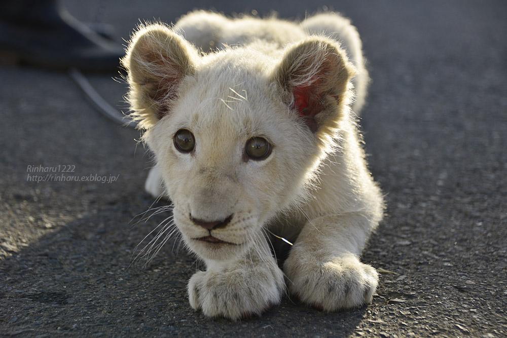 2018.11.18 東北サファリパーク☆ホワイトライオンのリズムちゃま【White lion baby】<その5(完)>_f0250322_1212573.jpg