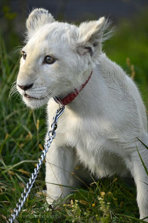 2018.11.18 東北サファリパーク☆ホワイトライオンのリズムちゃま【White lion baby】<その5(完)>_f0250322_1213221.jpg