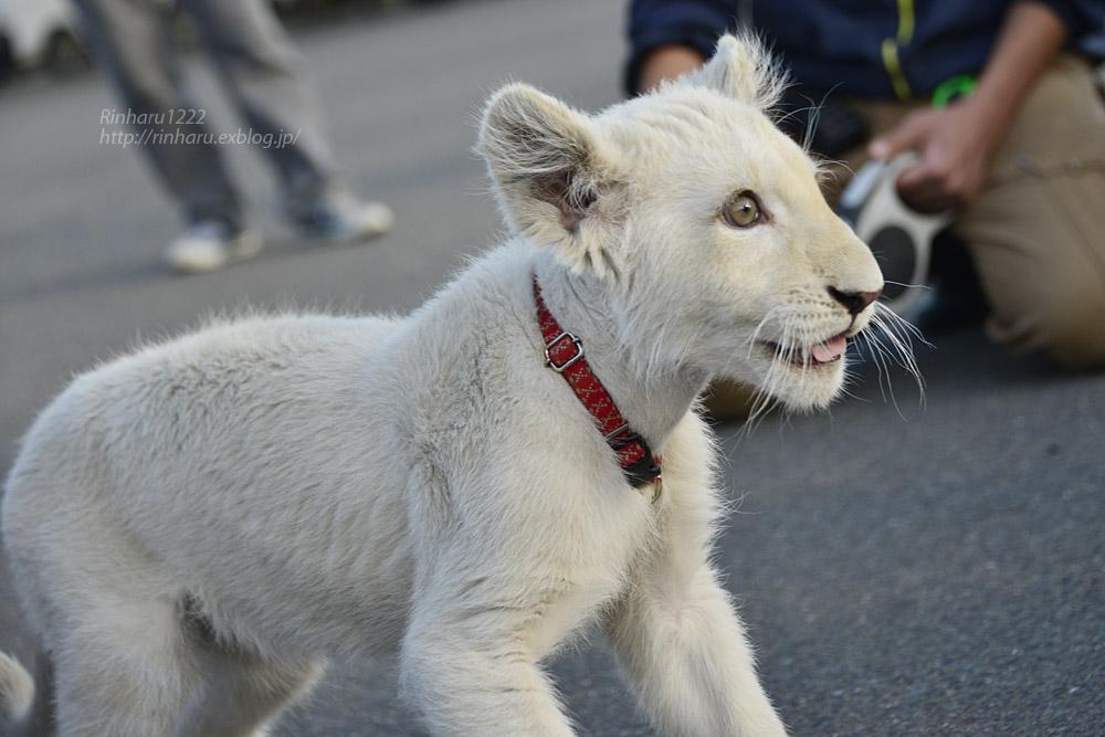 2018.11.18 東北サファリパーク☆ホワイトライオンのリズムちゃま【White lion baby】<その5(完)>_f0250322_12133084.jpg