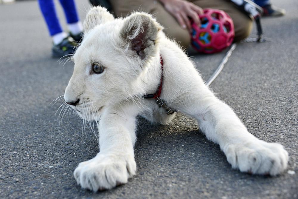 2018.11.18 東北サファリパーク☆ホワイトライオンのリズムちゃま【White lion baby】<その5(完)>_f0250322_12133837.jpg