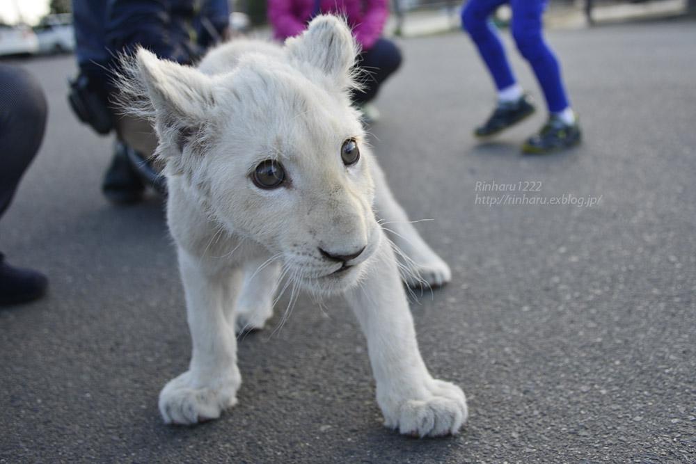 2018.11.18 東北サファリパーク☆ホワイトライオンのリズムちゃま【White lion baby】<その5(完)>_f0250322_12134753.jpg