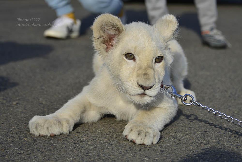 2018.11.18 東北サファリパーク☆ホワイトライオンのリズムちゃま【White lion baby】<その5(完)>_f0250322_12135357.jpg