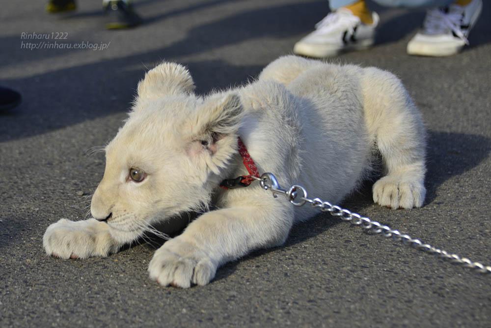 2018.11.18 東北サファリパーク☆ホワイトライオンのリズムちゃま【White lion baby】<その5(完)>_f0250322_12135972.jpg