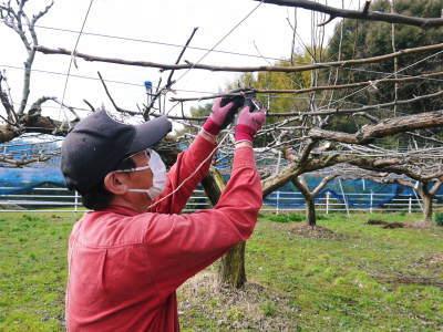 熊本梨 本藤果樹園 今年は花が来るのが早いかも?匠の剪定と誘引作業が急ピッチで行われています!2020_a0254656_16412115.jpg