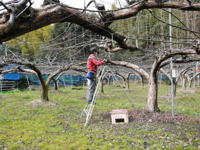 熊本梨 本藤果樹園 今年は花が来るのが早いかも?匠の剪定と誘引作業が急ピッチで行われています!2020_a0254656_16563607.jpg