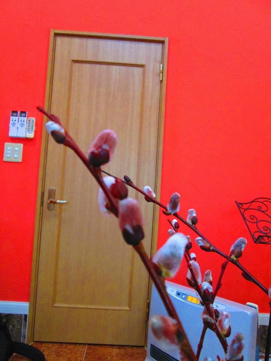 西塔ピアノ教室に飾った猫柳が白色から桃色に変化を見せて…_d0159273_13203070.jpg