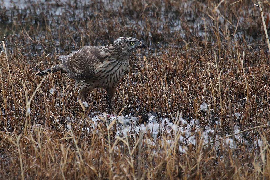 ★雨でも楽しめました・・・先週末の鳥類園(2020.2.15~16)_e0046474_22015424.jpg