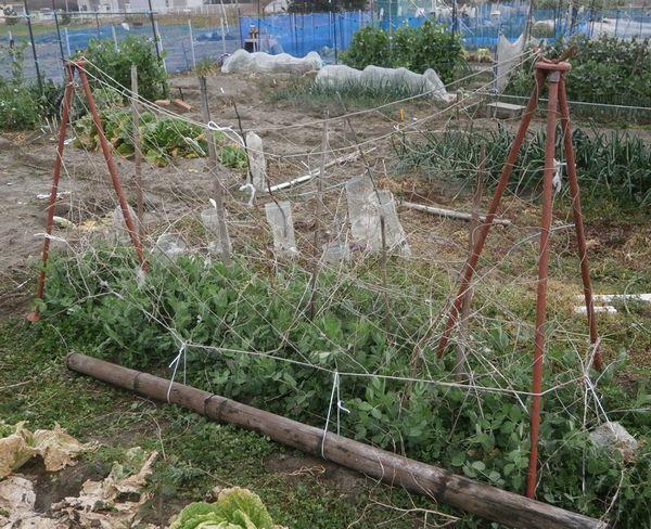 エンドウのネット張りと保存玉葱の最後の追肥_f0018078_16504042.jpg