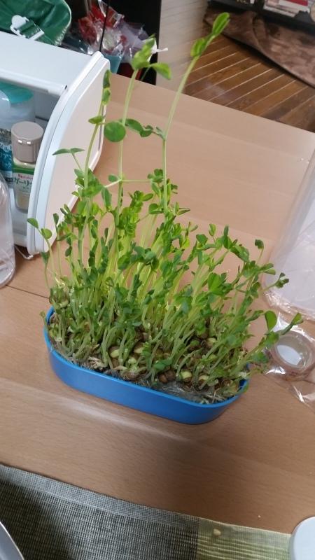 豆苗栽培🍀マン_e0413591_21132762.jpg