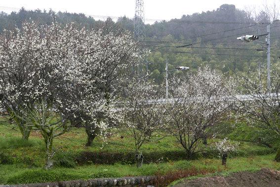 梅が花盛り_b0145296_14485486.jpg