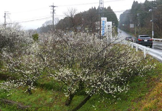 梅が花盛り_b0145296_14485747.jpg