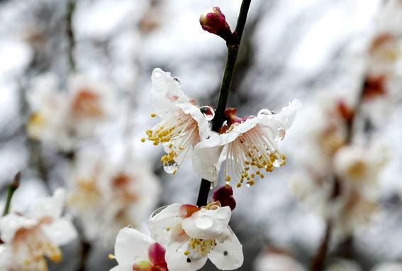 梅が花盛り_b0145296_14485969.jpg