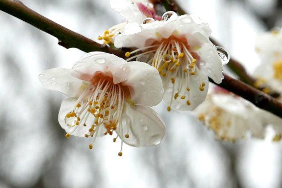 梅が花盛り_b0145296_14490223.jpg
