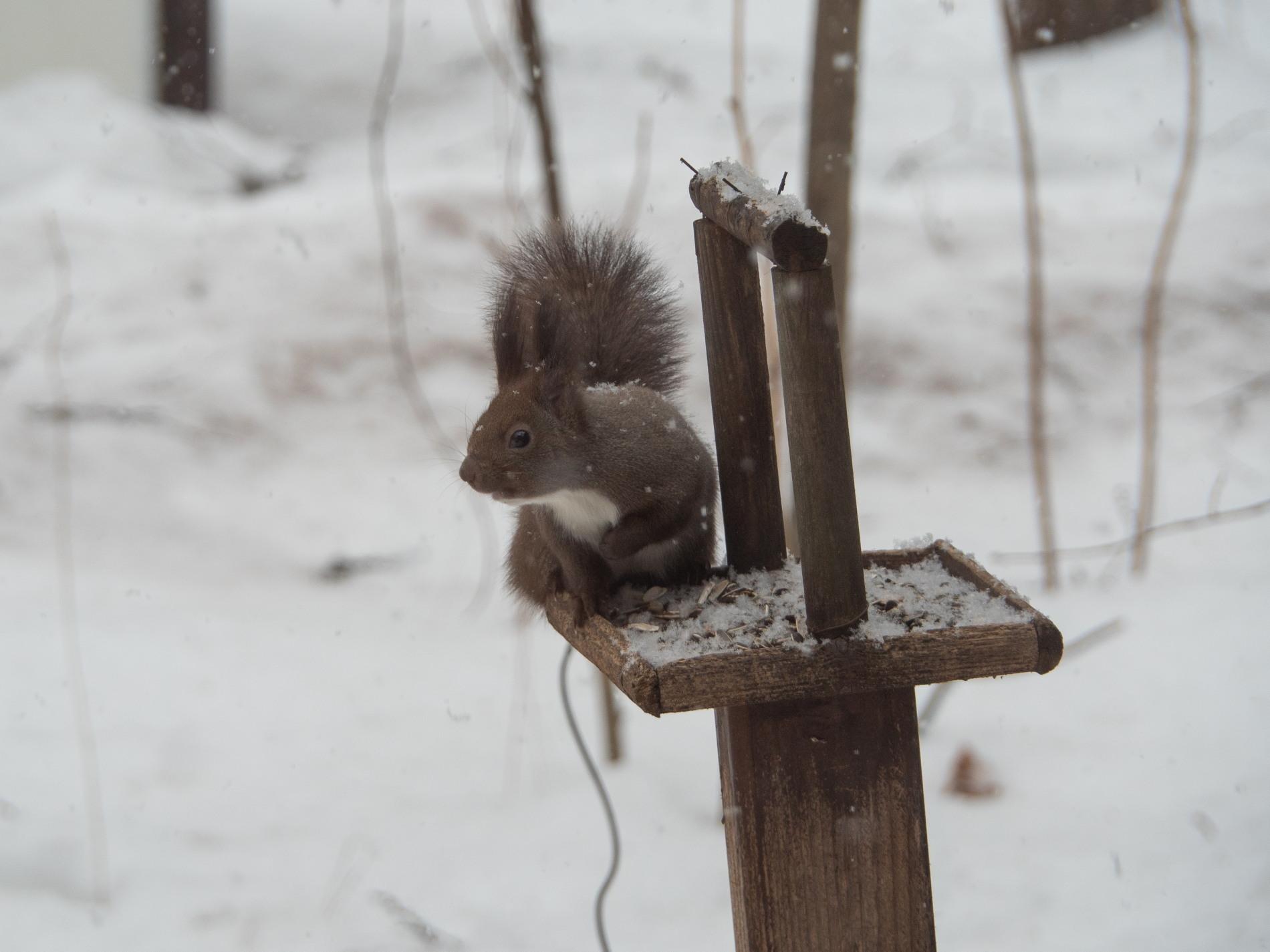 今度は大雪かな?雪に埋もれてしまうよ・・エゾリス君!_f0276498_20062452.jpg