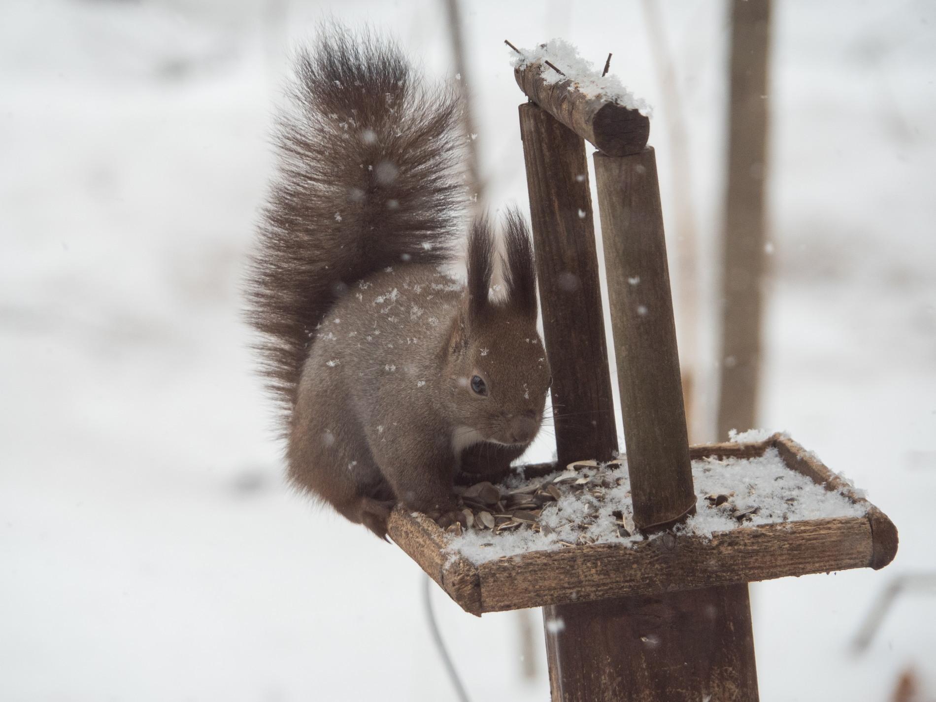 今度は大雪かな?雪に埋もれてしまうよ・・エゾリス君!_f0276498_20070037.jpg
