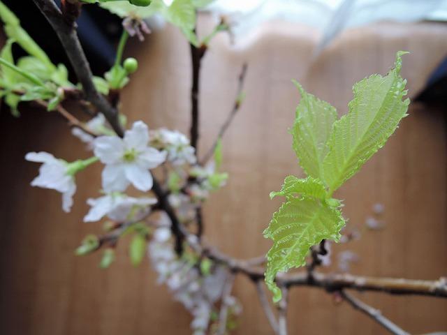 花咲か爺ちゃん_c0062832_14533139.jpg