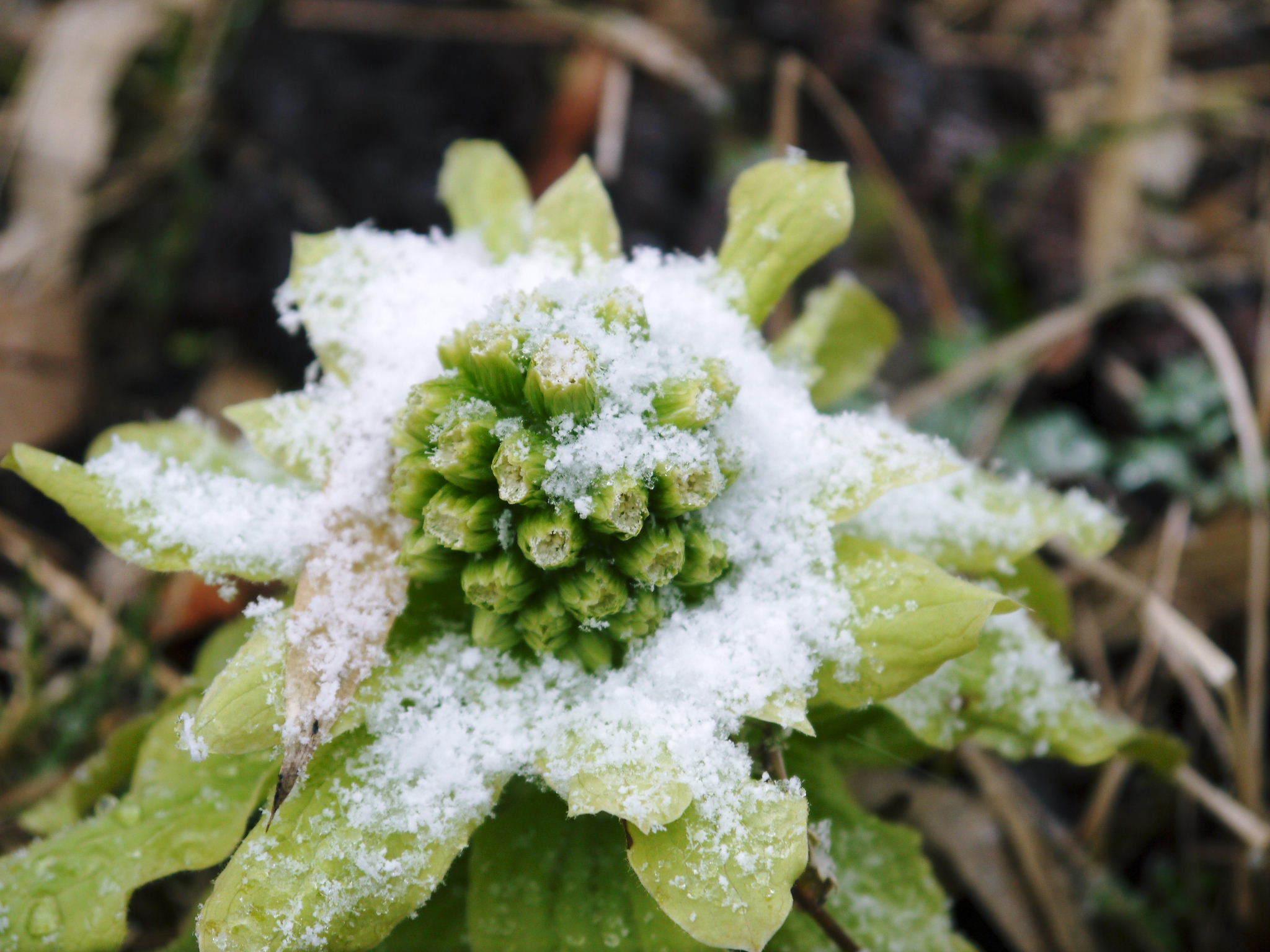 株式会社旬援隊の冬の様子 この冬、初の積雪(?)です!春の訪れが早いはずが…、果樹たちが心配です!_a0254656_16454243.jpg