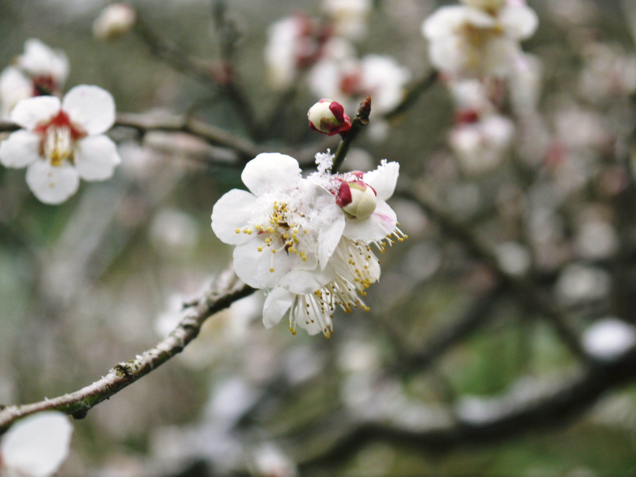 株式会社旬援隊の冬の様子 この冬、初の積雪(?)です!春の訪れが早いはずが…、果樹たちが心配です!_a0254656_16502430.jpg