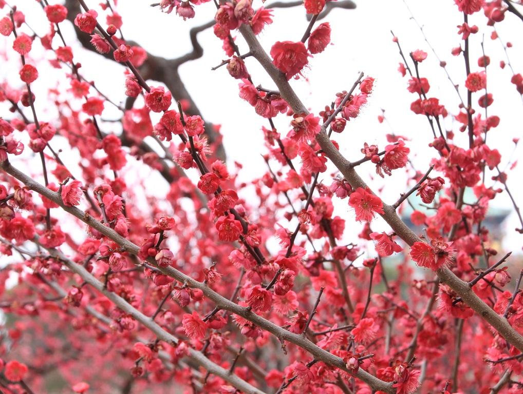 大阪城公園まで梅林を見る旅_d0202264_9152821.jpg