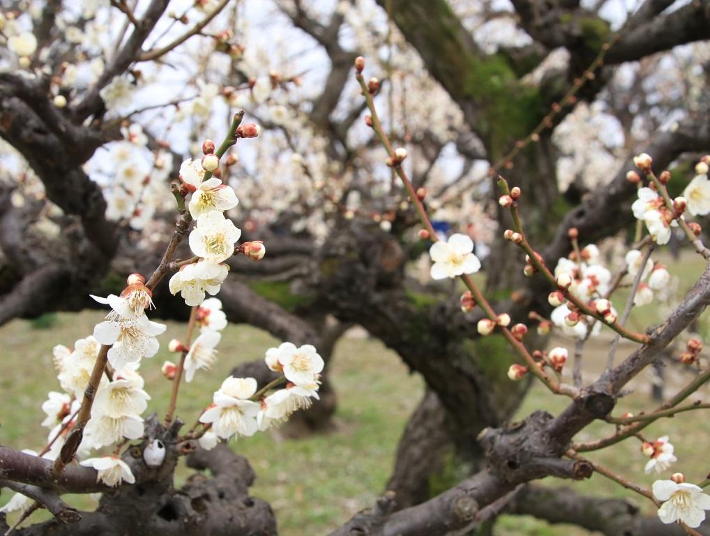 大阪城公園まで梅林を見る旅_d0202264_974621.jpg