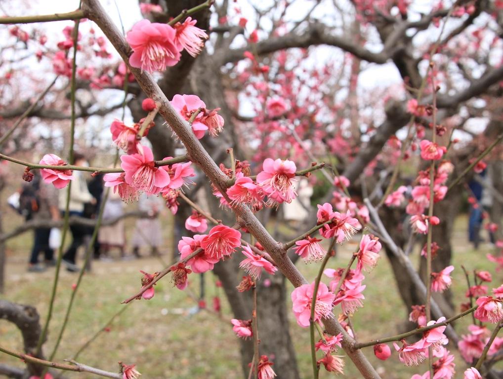 大阪城公園まで梅林を見る旅_d0202264_992487.jpg