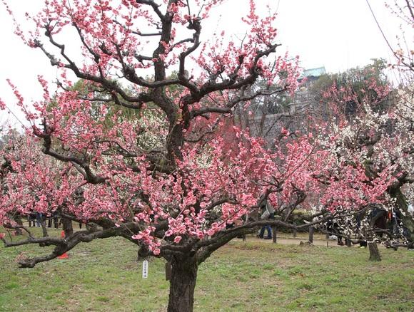 大阪城公園まで梅林を見る旅_d0202264_995959.jpg