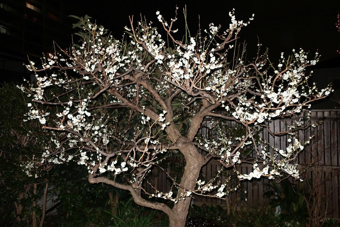 庭の白梅が満開です_a0107574_21514136.jpg
