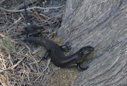 オーストラリアの爬虫類 =キノボリトカゲ=一種_d0019074_14561089.jpg
