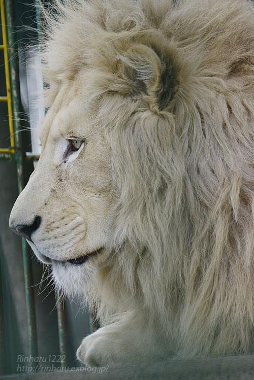 2020.1.19 東北サファリパーク☆ホワイトライオンのポップくん【White lion】_f0250322_19525047.jpg