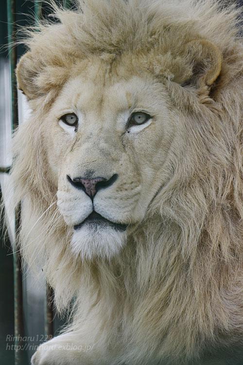 2020.1.19 東北サファリパーク☆ホワイトライオンのポップくん【White lion】_f0250322_19525659.jpg