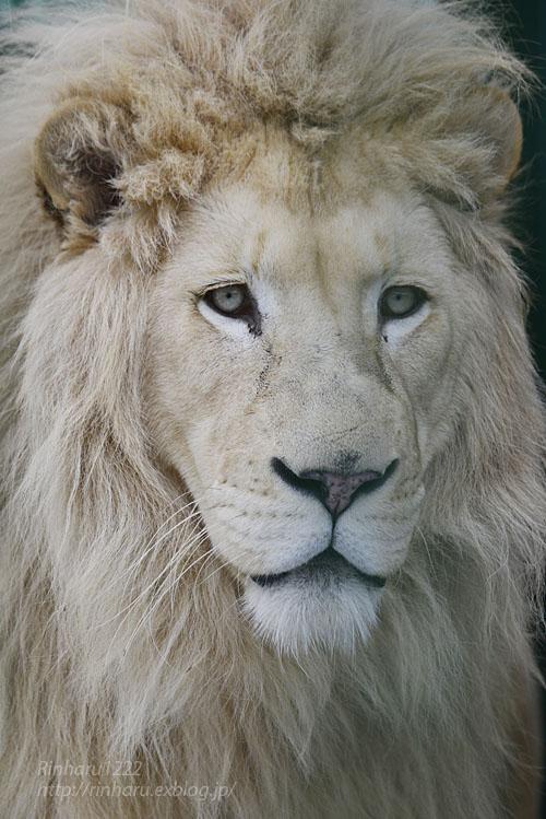 2020.1.19 東北サファリパーク☆ホワイトライオンのポップくん【White lion】_f0250322_1953129.jpg
