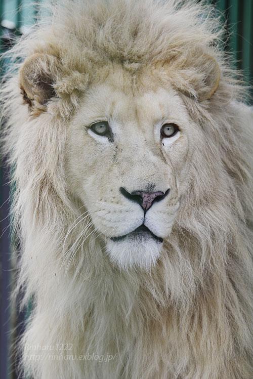 2020.1.19 東北サファリパーク☆ホワイトライオンのポップくん【White lion】_f0250322_19531334.jpg