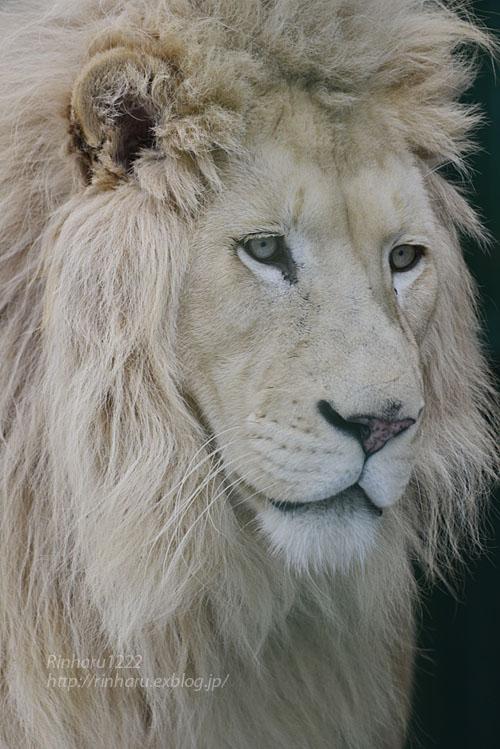 2020.1.19 東北サファリパーク☆ホワイトライオンのポップくん【White lion】_f0250322_1953678.jpg