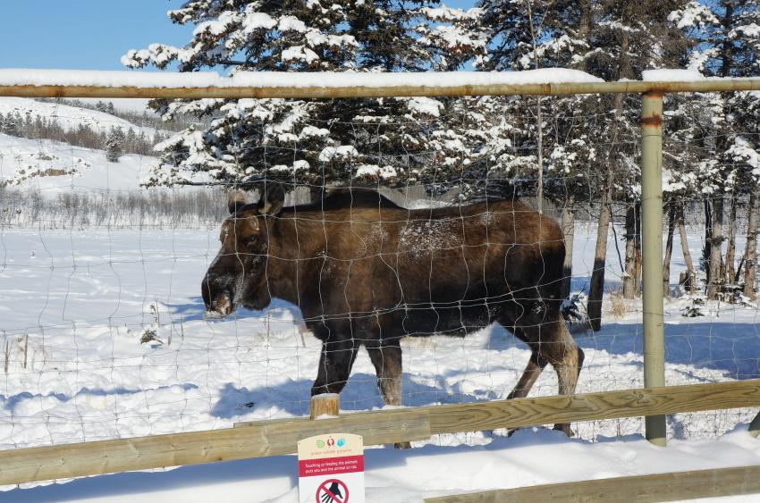 子供も大満足、極北に住む動物に会おう!『ミート・ザ・ワイルド』_d0112928_13151675.jpg