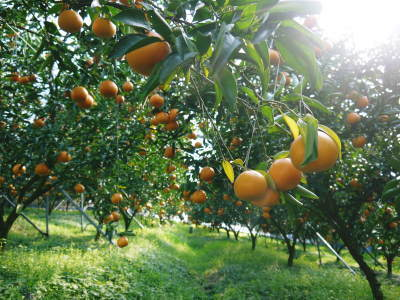 究極の柑橘『せとか』 令和2年の出荷スタート!収穫の様子を現地取材!(前編)_a0254656_18050392.jpg