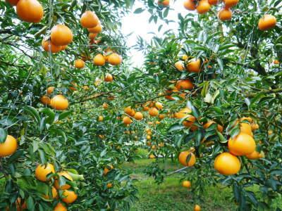 究極の柑橘『せとか』 令和2年の出荷スタート!収穫の様子を現地取材!(前編)_a0254656_18254657.jpg