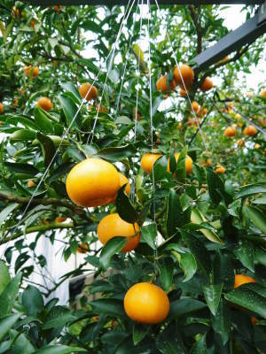 究極の柑橘『せとか』 令和2年の出荷スタート!収穫の様子を現地取材!(前編)_a0254656_18324971.jpg