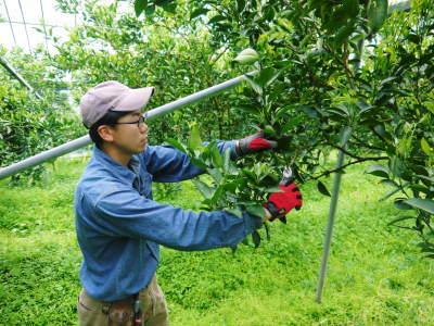 究極の柑橘『せとか』 令和2年の出荷スタート!収穫の様子を現地取材!(前編)_a0254656_18462031.jpg